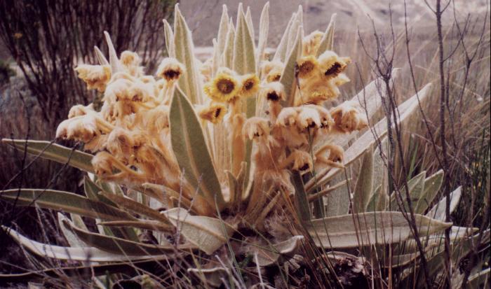 Frailejón en Laguna Alta (Enero, 1998)