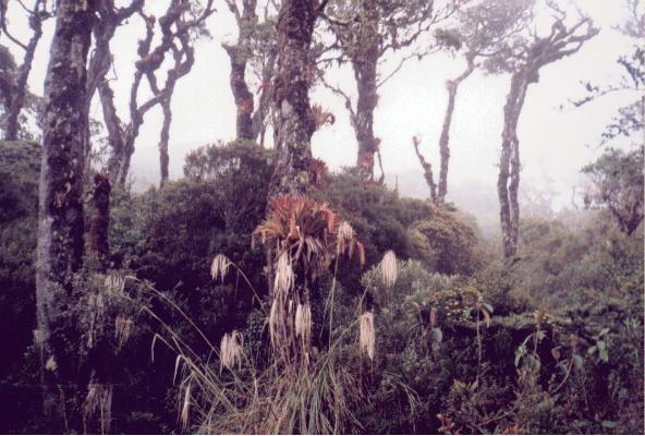 Cedros y bromelias (Enero,  1998)