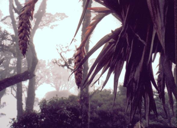 Bromelia (Enero, 1999)