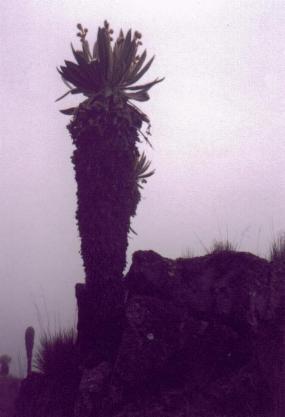 Frailejón (Julio, 1998)
