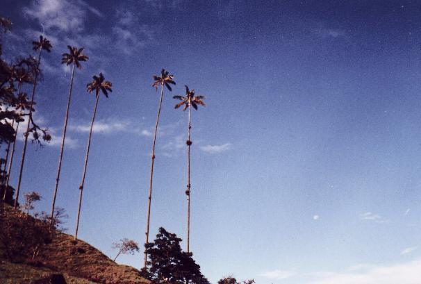 Palma de Cera (Enero, 1999)