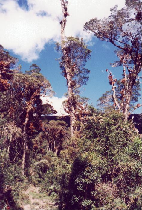 Cedros (Enero, 1999)